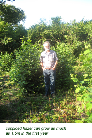 coppiced hazel can grow as much as 1.5m in the first year