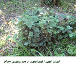 New growth on coppiced hazel stool