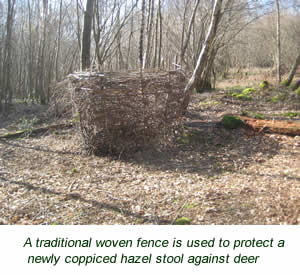 a traditional woven fence is used to protect a newly coppiced hazel stool against deer